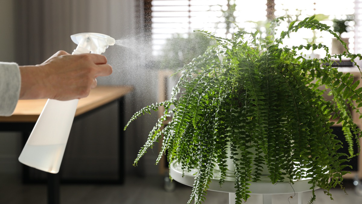 buy-indoor-ferns